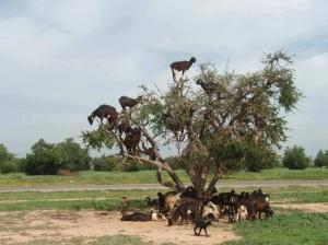 cabras comiendo el argan